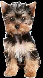 yorkie puppy - Google Search
