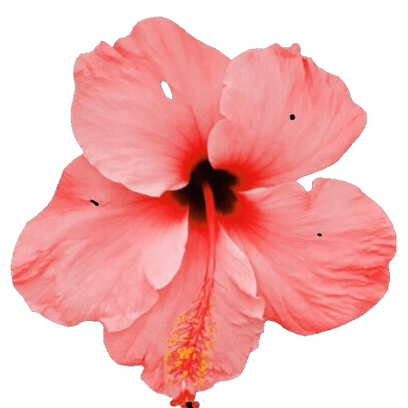 Hibiscus Orange Pink Filler png