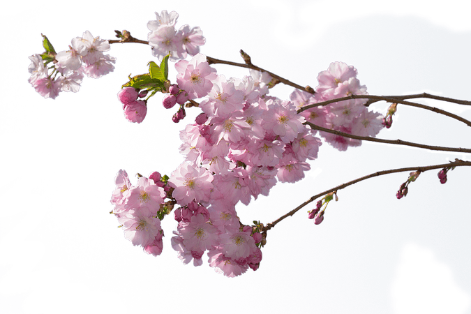 Flowering Cherry Tree Sprigs