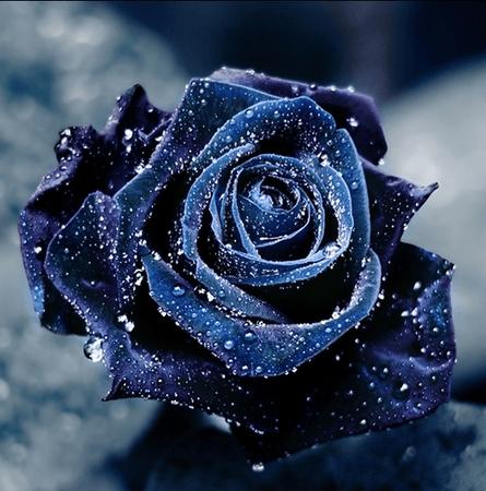 blue rose aesthetic