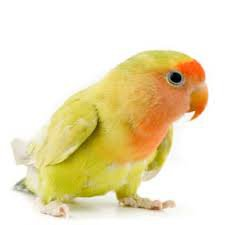 love bird png yellow - Google Search