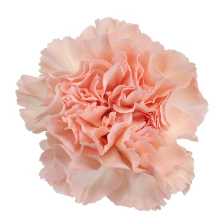 Hint of Peach Carnation Flowers | FiftyFlowers.com