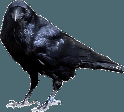 raven no background - Google Search
