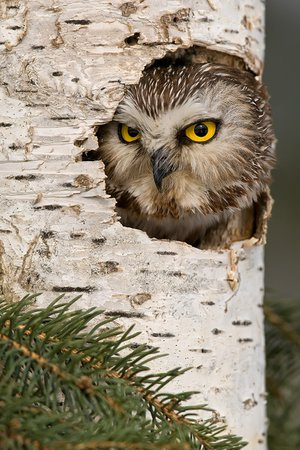 Saw Whet Owl in Tree Mike Lentz Nature Photography