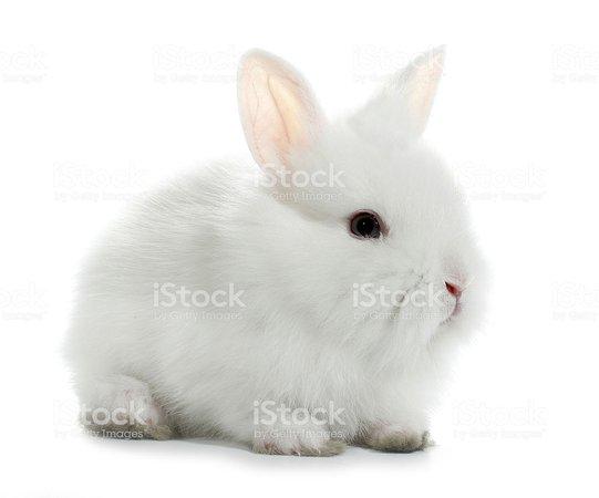 White Rabbit Bunny Isolated Stock Photo - Download Image Now - iStock