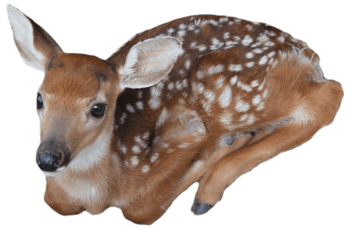fawn png