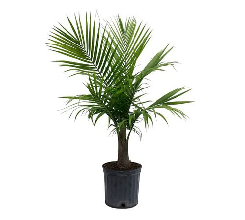 Live Majesty Palm Plant | Pottery Barn