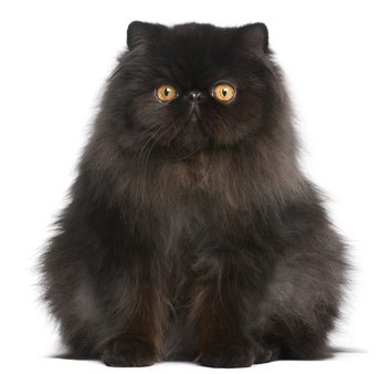 long haired black persian cat - Google Search