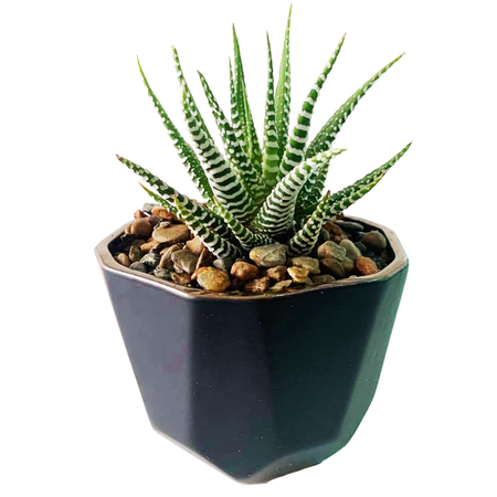 Haworthia in Benito Pot - MICRO PLANT STUDIO