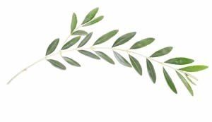 olive leaf - Google Search