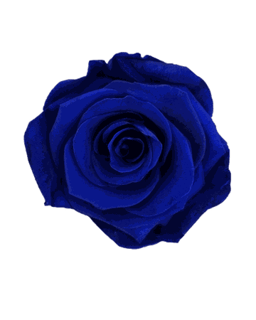 Dark-Blue Rose (clipart for iconing)