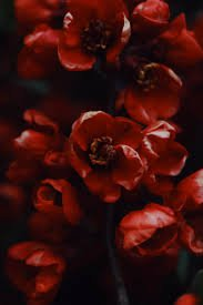 red flower aesthetic - Google Search