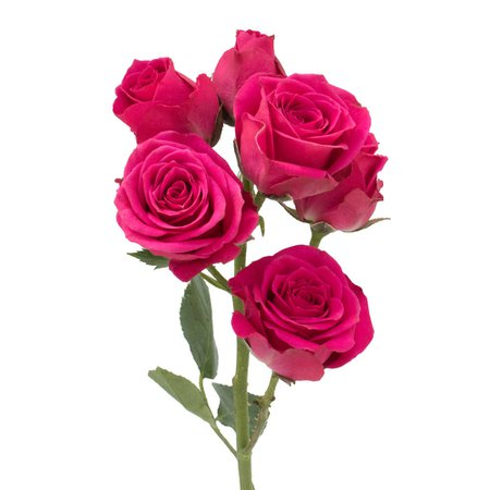 hot-pink-spray-roses-stem.jpg (1000×1000)
