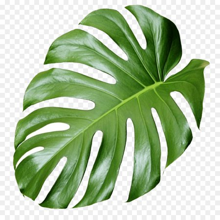 Plant Aesthetics - monstera png download - 1181*1181 - Free Transparent Plant png Download.