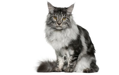 file_2680_Maine-Coon-Cat-breed.jpg (400×252)