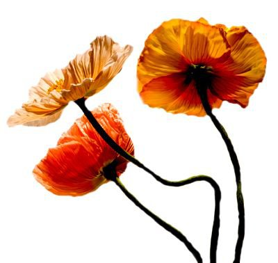 orange/red poppy flower filler png moodboard