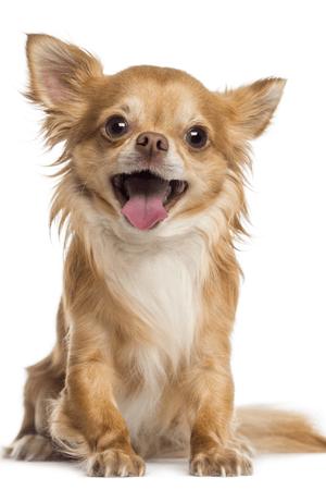 Chihuahua png