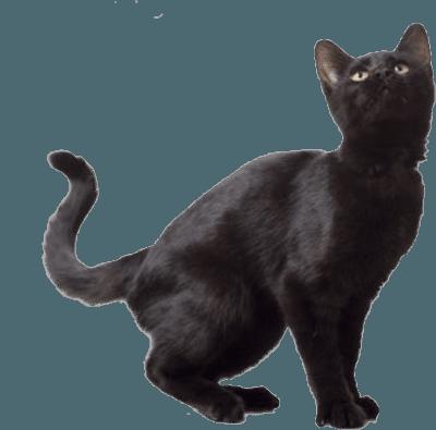 Google Image Result for http://www.pngmart.com/files/5/Black-Cat-PNG-Free-Download.png