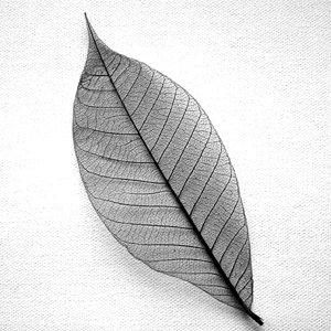 Large Black Skeleton Leaves 15 cm Pack of 25 · skeletonleaf