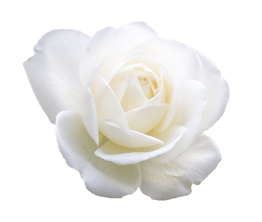 White Rose Clipart (Icon Supplies)