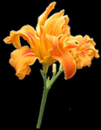Day Lily Flower Stem