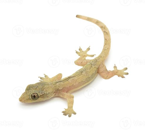 House lizard - gekco isolated on white background 850014 Stock Photo