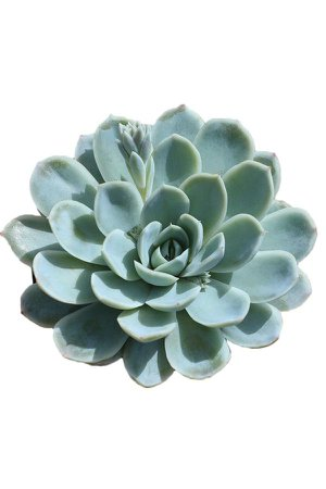 Succulents – Altman Plants