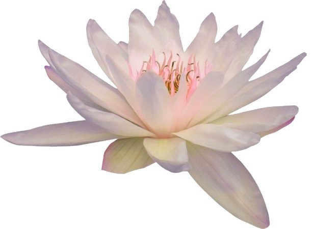 water lily png filler