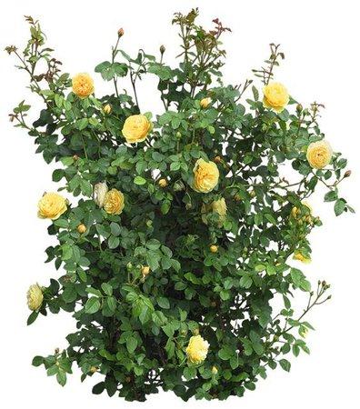 yellow roses