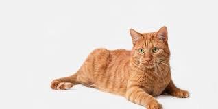 orange cat - Google Search