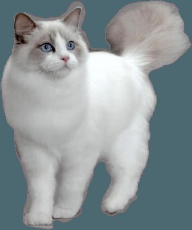 Ragdoll Cat 1