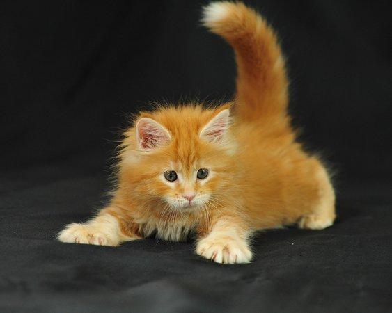 orange & white Maine coon kitten