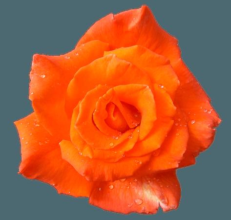 Orange Rose Clipart (Icon Supplies)