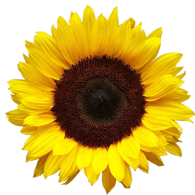 sunflower png - Buscar con Google