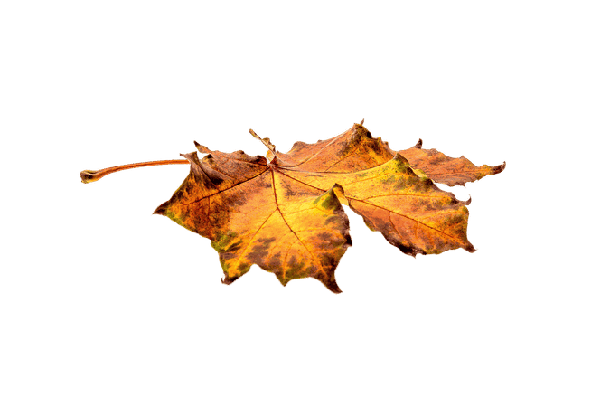 Autumn Flat Leaf transparent PNG - StickPNG
