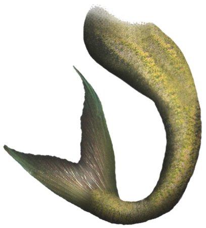 Gold Mermaid Tail