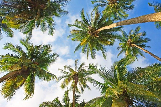 Palm Trees. Native To Hawaii? | Gray Line Hawaii Travel ... - Cliparts.co