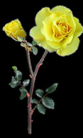 Yellow Rose Stem
