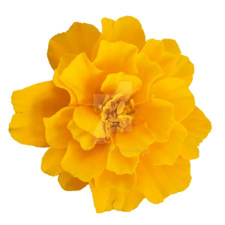 yellow_flower_png_by_bunny_with_camera_dcd1uff-fullview.png (1024×1024)