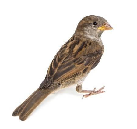15343733-house-sparrow-against-white-background.jpg (450×423)