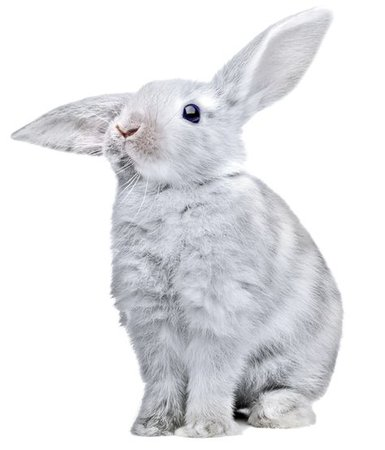 white grey bunny rabbit png filler