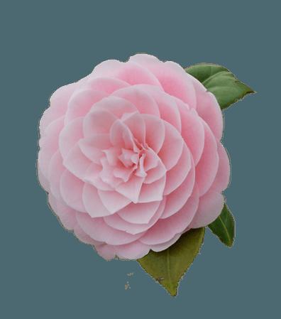 Pink Flower Filler png