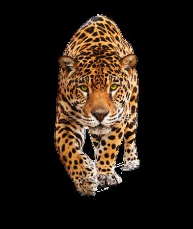leopard head no background - Google Search