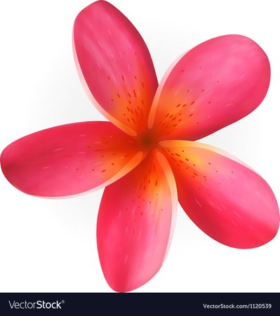 Pink Plumeria flower isolated on white Royalty Free Vector
