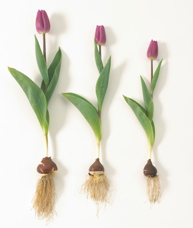 tulip with bulb - Google Search