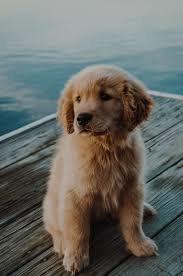 dog golden retriever - Google Search