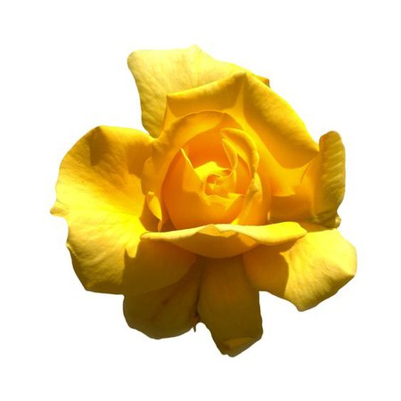 yellow rose flower png filler