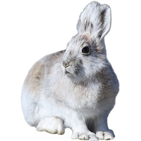 white rabbit png filler