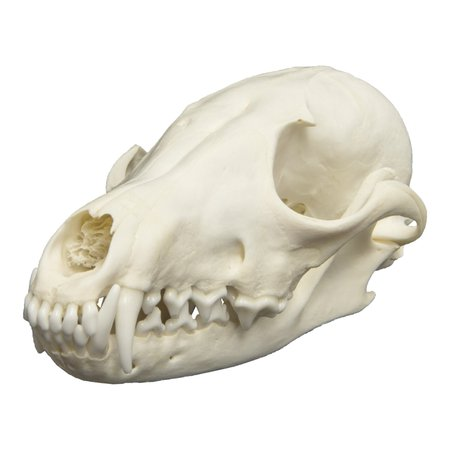 fox skull - Google Search