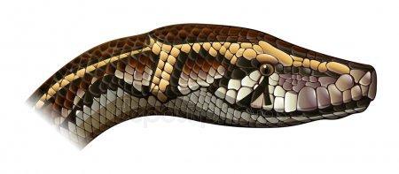 Python Stock Vectors, Royalty Free Python Illustrations   Depositphotos®